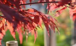 Rośliny ogrodowe: drzewa i krzewy o kolorowych liściach. Hortensja dębolistna, sumak octowiec